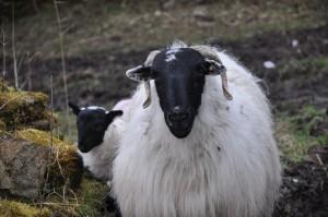 ¿Tienes pensado venir a conocer Irlanda y todavía no sabes como? o ¿Vives ya en la isla y te gustaría conocer la parte más rural de ella? El voluntariado en granjas  es una gran oportunidad para conocer el lado más rural del país. Anímate, porque con esta opción no tienes excusa para venir y disfrutar de la isla esmeralda.